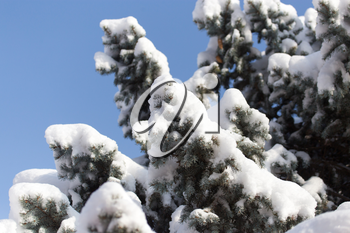 pine tree in the snow against the blue sky