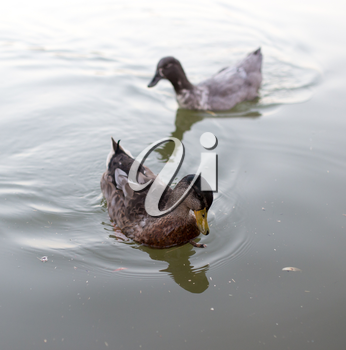 ducks in a pond in nature