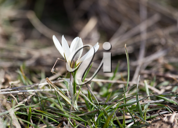 Beautiful white snowdrop flower on nature outdoors