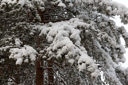 Royalty Free Photo of Snow on a Pine Tree