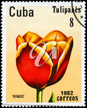CUBA - CIRCA 1982: A Stamp shows image of a Tulip with the inscription Ringo, from the series Tulips, circa 1982