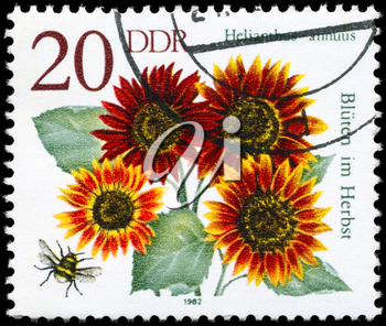 GDR - CIRCA 1982: A Stamp shows image of a Sunflower with the inscription Helianthus annuus, from the series Autumn Flowers, circa 1982