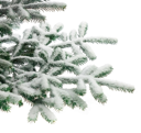 Royalty Free Photo of a Snow Covered Pine Tree