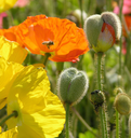 Royalty Free Photo of Bees on Poppies
