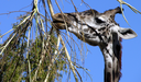 Royalty Free Photo of a Giraffe Eating Leaves
