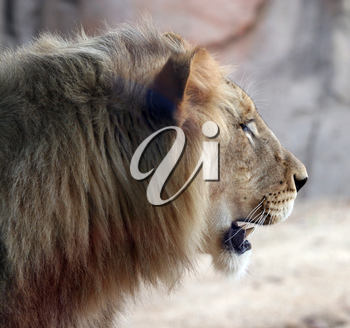 Royalty Free Photo of a Lion