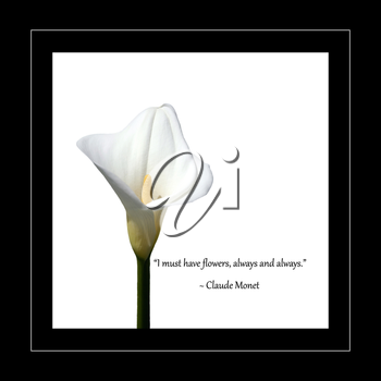 Royalty Free Photo of a Calla Lily