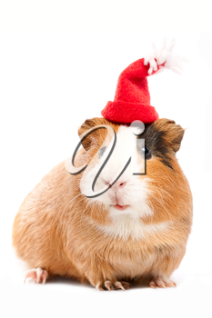 Royalty Free Photo of a Guinea Pig in a Funny Hat