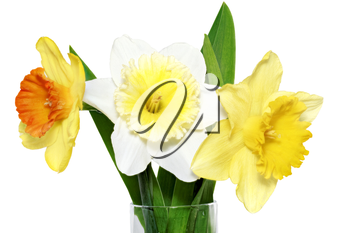 Beautiful spring three  flowers : yellow-white-orange narcissus (Daffodil). Isolated over white.