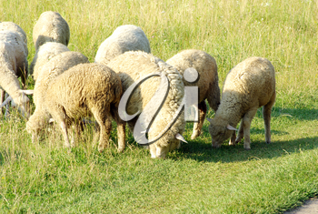 sheep in a green meadow