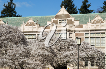Horizontal photo of Japanese cherry trees in full bloom in front of  University of Washington building during Spring Season
