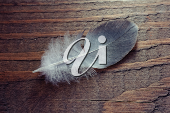 Feather on wooden texture. Closeup shot