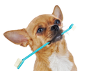 Red chihuahua dog with toothbrush isolated on white background. Closeup.