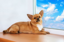 Red chihuahua dog lies on windowsill at window and looks into the distance.