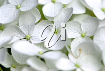 Macro of Hydrangea flower, botanical background