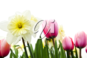 Tulips and daffodils isolated on white background, floral border