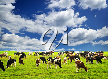 Cows grazing in a green pasture on sustainable small scale farm