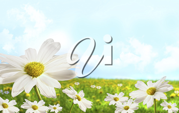 Royalty Free Photo of Daisies and Grass