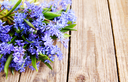 Blue spring flowers Scylla,  bouquet on table