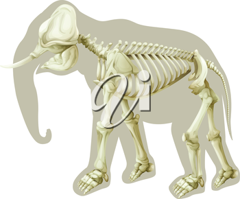 Illustration of a skeleton of an Elephas maximus on a white background