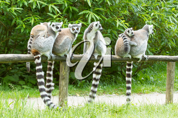 Ring-tailed lemur on a row in a dutch zoo