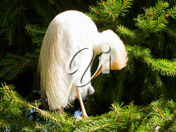 Bubulcus ibis, cattle egret, in a tree (Holland)