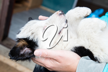 Small Border Collie puppy resting in the arms of a woman