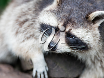 Adult racoon on a tree looking down