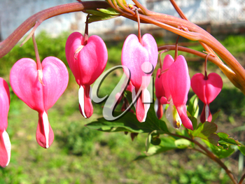 the image of magnificent flower of dicentra