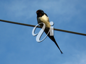 image of unique swallow sitting on the wire