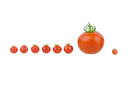 Tomato covey. Seven little cherry tomatoes with a big one isolated on white.