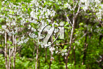 white blossoming tree in spring forest