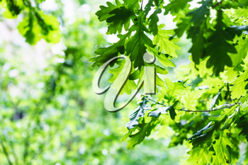 natural background - green oak foliage in summer rainy day