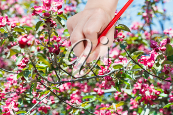 gardening concept - hand with pencil draws red flowers on apple tree in spring