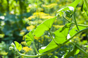 green leaves of pumpkin plant on twig in vegetable garden in sunny summer day