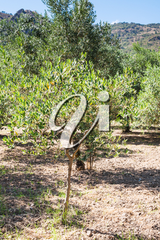 agricultural tourism in Italy - young olive tree in garden in Sicily