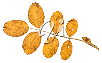 back side of twig with autumn yellow leaves of dog rose plant isolated