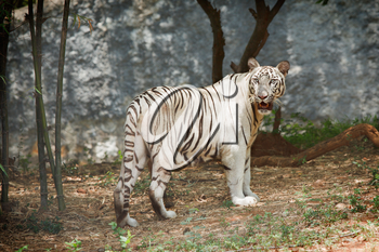 White indian tiger in forest