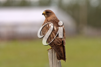Swainson's Hawk perched on fence post