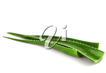 Aloe vera plant isolated on white background. Aloe vera is a succulent plant species of the genus Aloe. It is cultivated for agricultural and medicinal uses