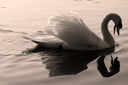 side of little white swan    black eye in the river ticino italy