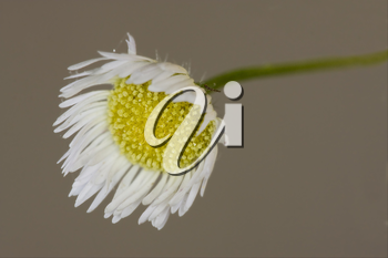 macro close up of a yellow white daisy composite chamomilla in background