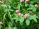 Clover flowers in a meadow among the motley grass