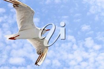 Sea gull during the flight against the sky with light clouds. Close-up