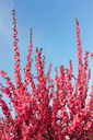 Sakura blossom. Young flowering Sakura shoots on a background the blue sky