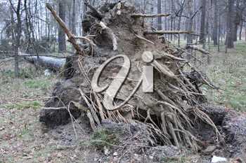 Fallen tree root in forest laying on ground 1300