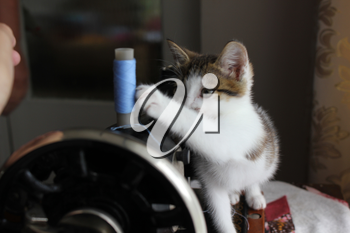 Cute gray kitten cat play with a sewing machine 8249