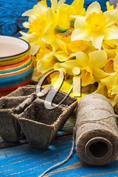 blooming daffodils,peat pots,secateurs on wooden background.Selective focus
