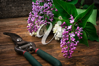 fragrant bush may lilac on background of scissors on wooden table