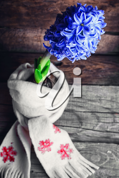 Blooming blue hyacinth wrapped in warm scarf on wooden background